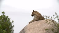 Female leopard on top of a rock then turns head towards camera, Kruger National Park, South Africa