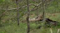 Female leopard plays with medium sized cub in Bushwillow thicket, Kruger National Park, South Africa