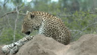 Female leopard puts her head down on earthy termite mound, Kruger National Park, South Africa