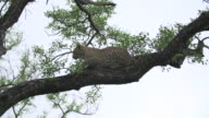 Female leopard settles on a branch in a Marula tree, Kruger National Park, South Africa