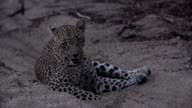 Female leopard shakes head to get rid of irritating flies, Kruger National Park, South Africa