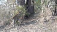 Female leopard sniffs bush then scent marks, Kruger National Park, South Africa