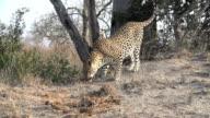 Female leopard sniffs ground, Kruger National Park, South Africa