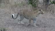 Female leopard spots something and moves out of frame to the right, Kruger National Park, South Africa