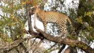 Female leopard stands up off branch in russet Bushwillow then turns around and moves a bit in good sunlight, Kruger National Park, South Africa