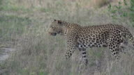 Female leopard walks across clearing, Kruger National Park, South Africa
