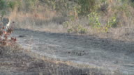 Female leopard walks along open road then turns off to walk right, Kruger National Park, South Africa