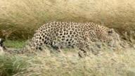 A female leopard walks and runs through her natural habitat.