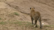 Female leopard walks away from camera up earthy embankment, Kruger National Park, South Africa
