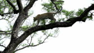Female leopard walks down Marula tree and leaps to ground, Kruger National Park, South Africa