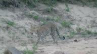 Female leopard walks in the open along sandy riverbed, Kruger National Park, South Africa