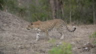 Female leopard walks left across clearing from out behind bush, Kruger National Park, South Africa