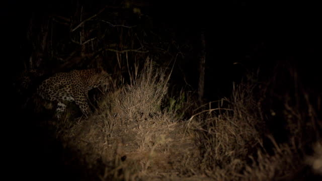 Female leopard walks through gap in the bushes in the spotlight, Kruger National Park, South Africa