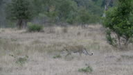 Female leopard walks to the left across open grassy clearing towards hyena, Kruger National Park, South Africa