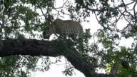 Female leopard walks towards camera along branch of schotia tree, Kruger National Park, South Africa