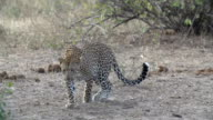 Female leopard walks towards camera in the open then lies down on brown grass, Kruger National Park, South Africa