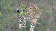 CU female leopard walks towards camera, Kruger National Park, South Africa