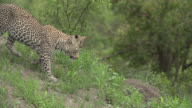 Female leopard with Small cub descends green termite mound, Kruger National Park, South Africa