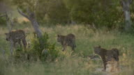 Female leopard with two cubs following walks away across grassy area with golden backlight, Kruger National Park, South Africa