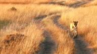 Weibliche Löwe n Masai Mara