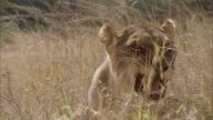 MS ZI ZO Female lion  sitting in tall grass / Unspecified