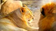 Weibliche Löwe