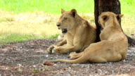 Female lions sitting dodge hot weather under tree