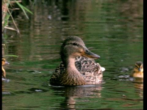 MS female Mallard duck, Anas platyrhynchos, and ducklings on river, England, UK