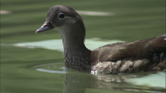 Female mandarin duck bathes in lake, Beijing.