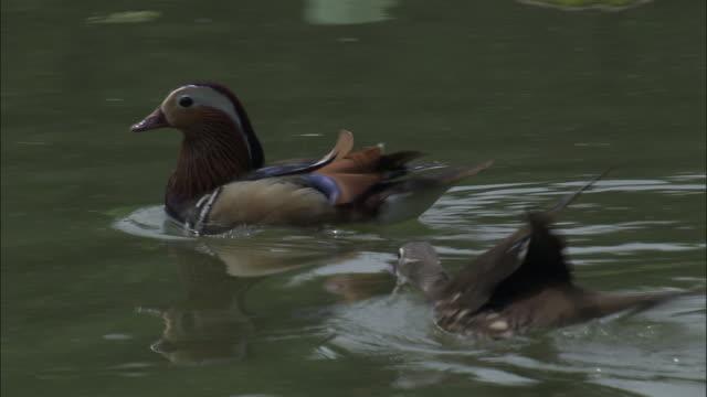 Female mandarin duck drives male away from ducklings, Beijing.
