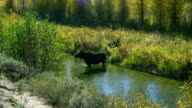 A female moose wades in a stream in Grand Teton National Park.