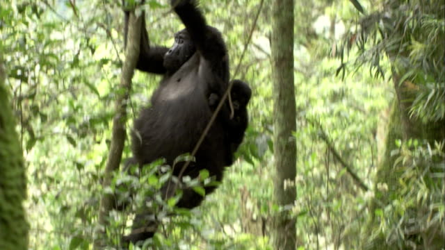 A female Mountain Gorilla descends a branch with an infant on her back. Available in HD.