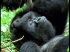 Female mountain gorilla scratches her head and relaxes