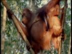 Female Orangutan carries baby through trees, baby somersaults, Camp Leakey, Borneo