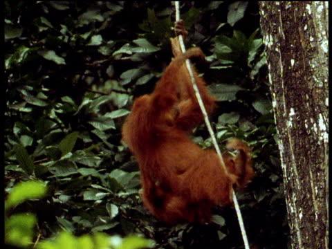 Female Orangutan climbs up vine carrying infant