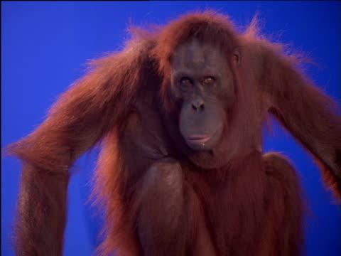 Female orang-utan moves its head around