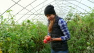 MS TD Female organic farmer harvesting tomatoes in greenhouse