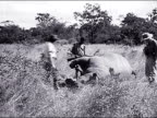 1947 Female photographer visits the Serengeti plain and views its wildlife
