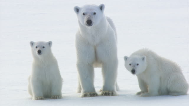 A female polar bear and her cubs rest on sea ice in Svalbard, Arctic Norway.