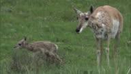 Female pronghorn antelope (Antilocapra americana) and newborn fawn, Yellowstone, USA