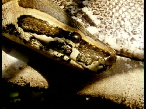 CU female Python head in profile, body on branch as background, Kenya