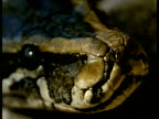 CU female Python, head of female flicks tongue, Kenya