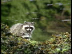 MS Female raccoon and baby peer up over ridge and walk away, Arctic circle