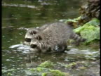 MS female Racoon, Procyon lotor, and three pups foraging in water for crabs, Arctic Circle