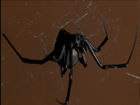 Female redback spider hangs from her web Australia
