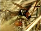 CU Female Sand Wasp (Ammophila) curling round caterpillar to sting it, USA
