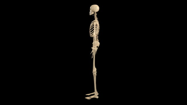Female skeletal system