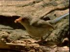 Female splendid fairy wren hops around on rotting log and pecks at termites, New South Wales, Australia