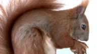 Female squirrel close-up