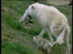 Female wolf carries arctic hare over rocks with pup following. Pup feeds on carcass, Ellesmere Island, Canada.